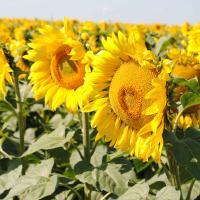 Подсолнечник гибрид Ягуар XL купить семена