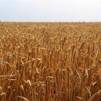 Купить семена ярового ячменя Себастьян в Украине