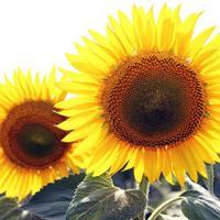 Соняшник гібрид Заграва купити насіння