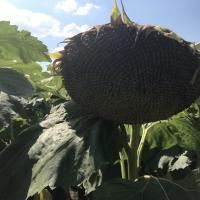 Семена Подсолнечника Заграва от Агроэксперт-Трейд