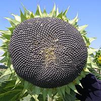 Посевной подсолнечник подсолнух семена сорт Запорожский кондитерский описание характеристика цена купить в Украине