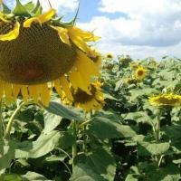 Семена Подсолнечника Жалон от Агроэксперт-Трейд