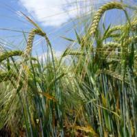 Посівний ярий пивоварний ячмінь насіння сорт Жозефін опис характеристика ціна купити в Україні