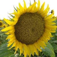 Соняшник гібрид Златібор купити насіння