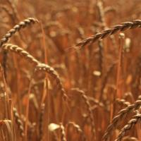Семена пшеницы Семена спельты от Агроэксперт-Трейд