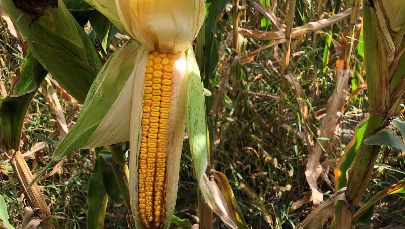 Гибрид кукурузы АР 1801 К