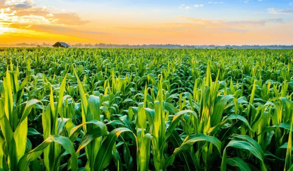 Гибрид кукурузы ДМС 2715