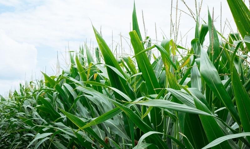 Гібрид кукурудзи ДМС 3015