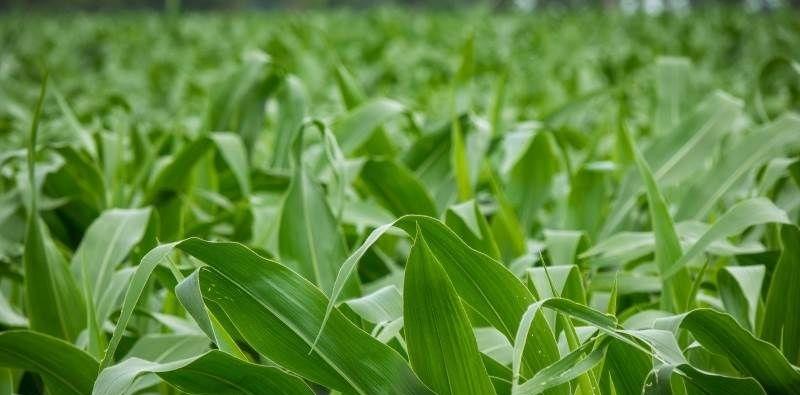Гібрид кукурудзи ДМС 3111