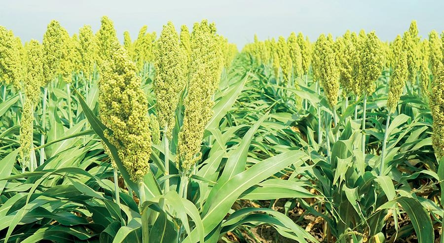 Сорго гібрид 341Х120 купити насіння
