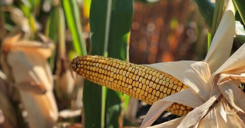 Гибрид кукурузы ДМС 3510