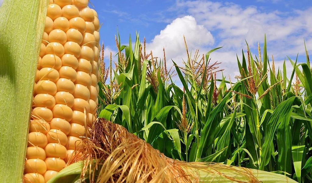 кукурудза гібрид Mas 36.A насіння