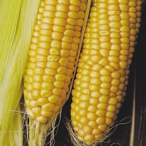 кукуруза гибрид ДКС 3711 семена