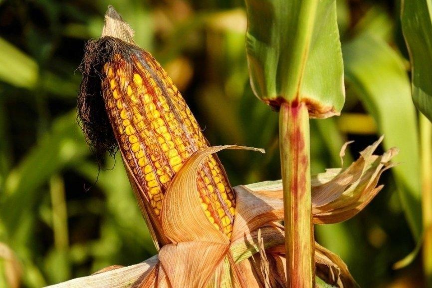 кукурудза гібрид ДКС 3759 насіння