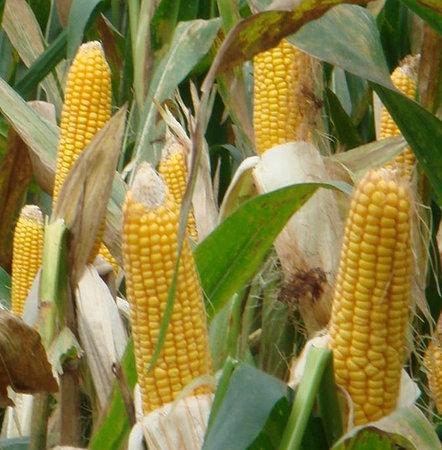 кукурудза гібрид ДКС 3939 насіння