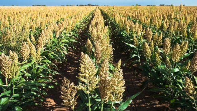 Сорго гибрид 400Х82 купить семена