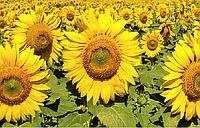 Соняшник гібрид НС Х 498 купити насіння в Україні фото
