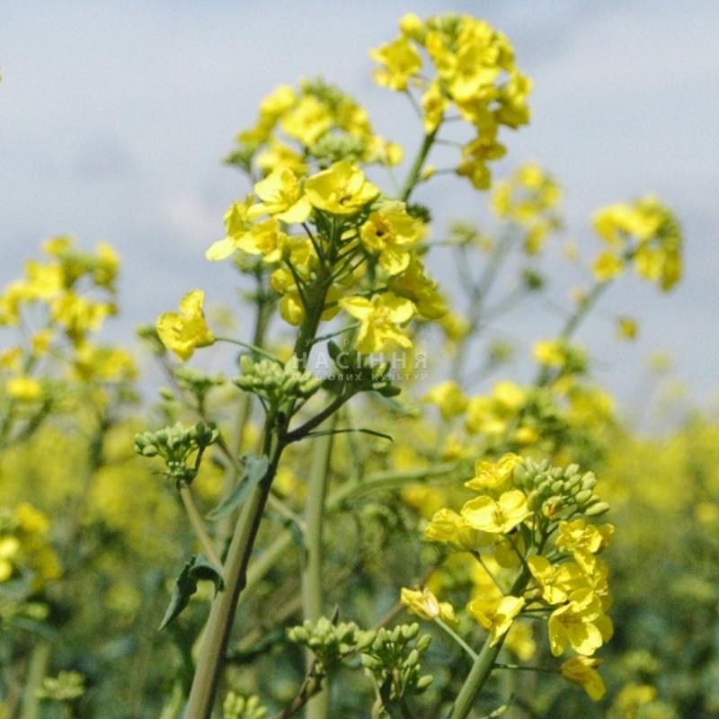 Семена рапса Паркер (ВНИС) купить в Украине, описание гибрида, отзывы, цена, доставка