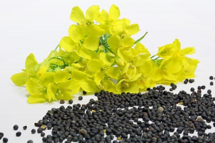 Семена рапса Альбатрос купить в Украине