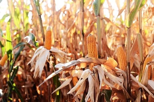 Гибрид кукурузы Анови КС