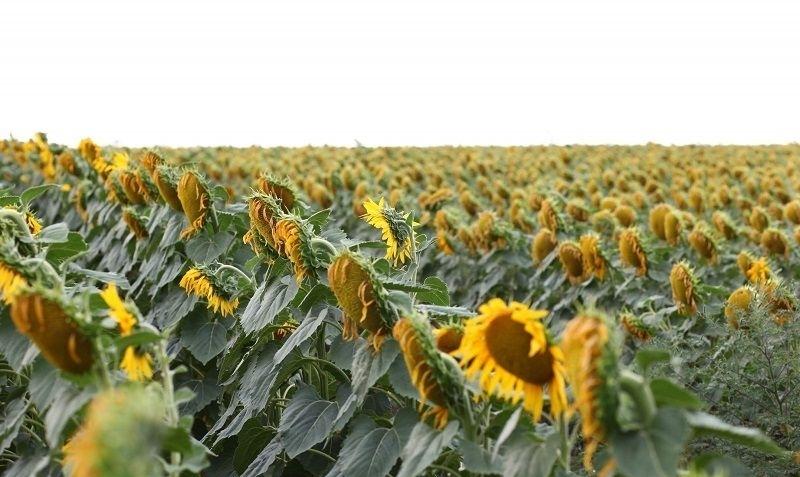 Семена подсолнечника АР 1801