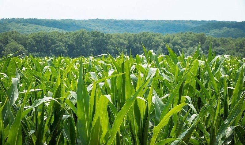 Гибрид кукурузы АР 18102 К