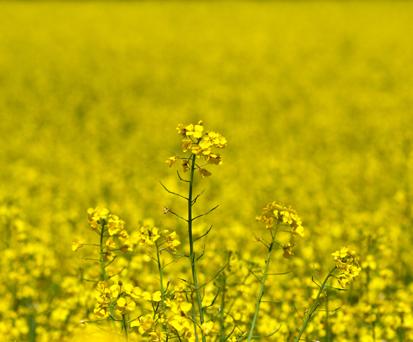 Семена рапса Архитект купить в Украине