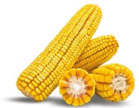 Гибрид кукурузы Аргентум купить в Украине