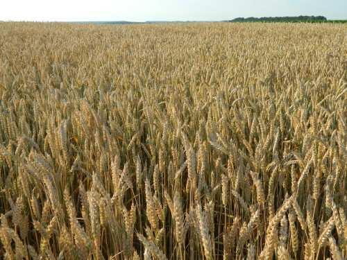 Посівна озима австрійська пшениця насіння сорт Балатон опис характеристика ціна купити в Україні