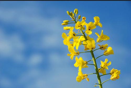 Семена рапса Белана купить в Украине, описание гибрида, отзывы, цена, доставка