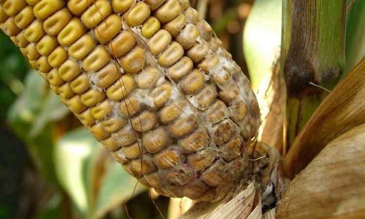 Стаття - Біла гниль кукурудзи. Основні ознаки захворювання, шкода ...