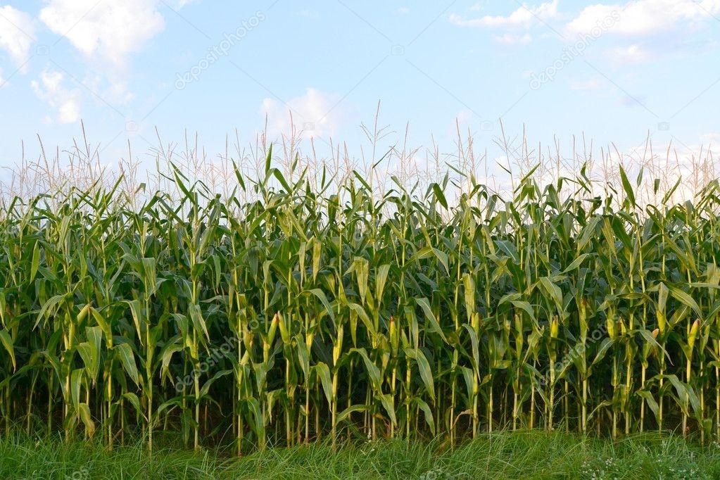 Кукурудза гібрид БІГ Стар насіння