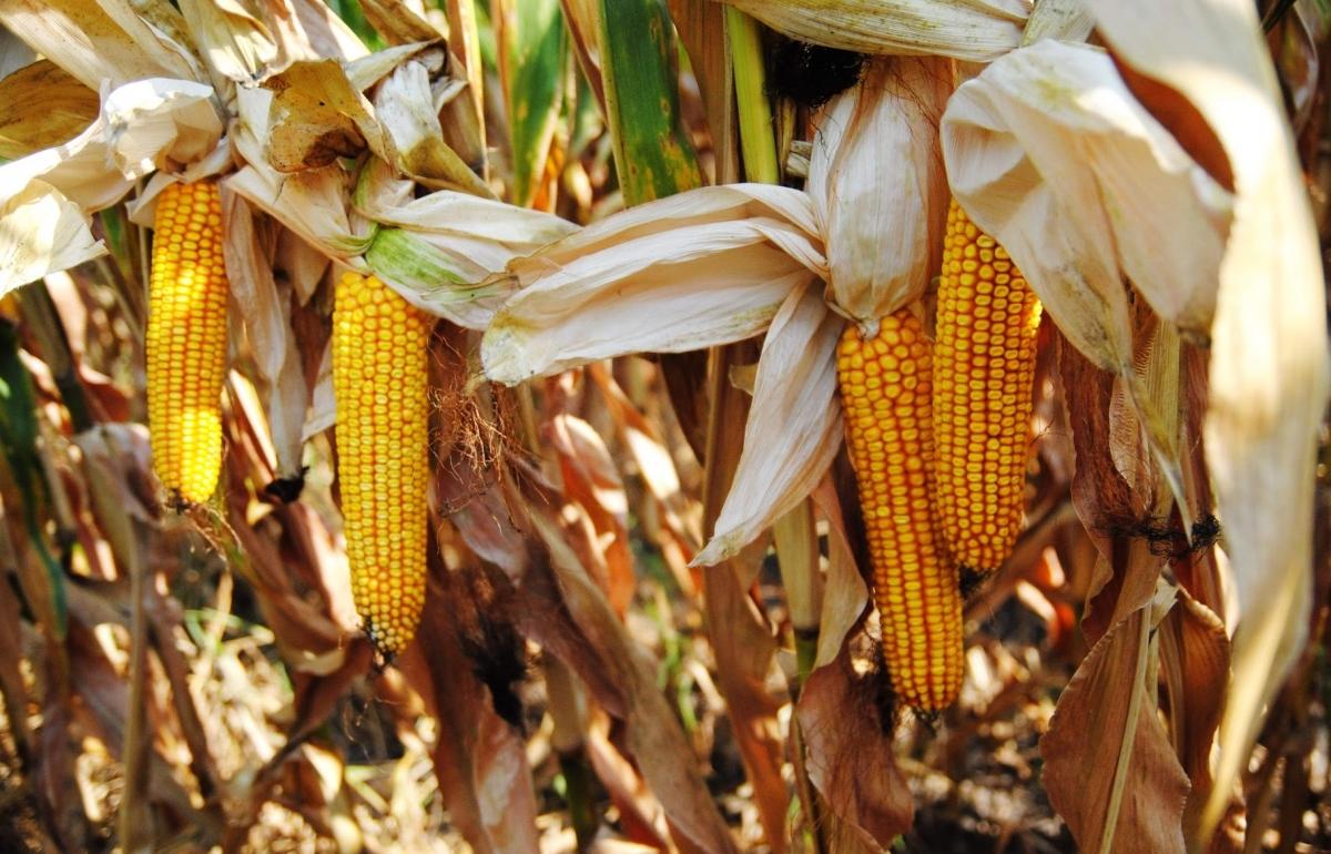 Гибрид кукурузы ДМС Блюз