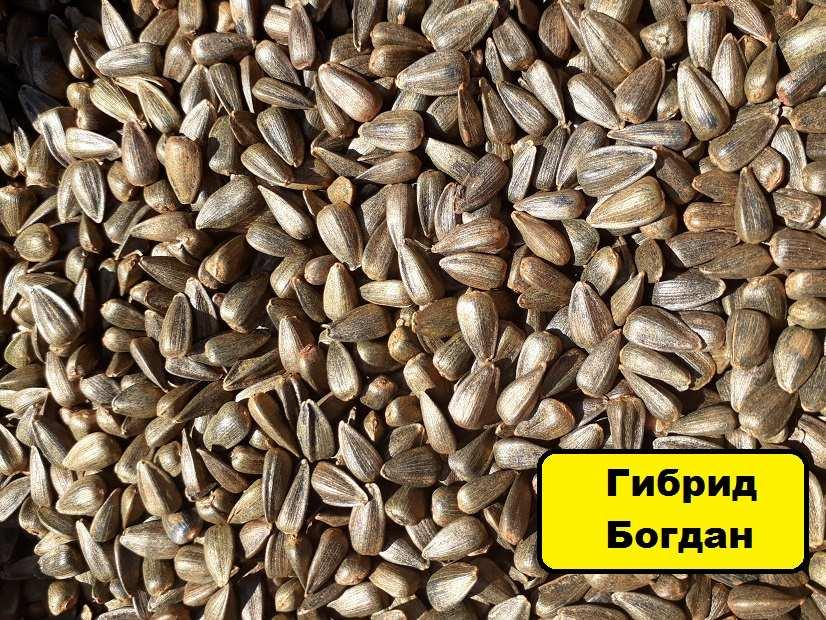 Подсолнечник Богдан купить семена