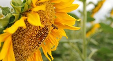 Семена подсолнечника Бузулук