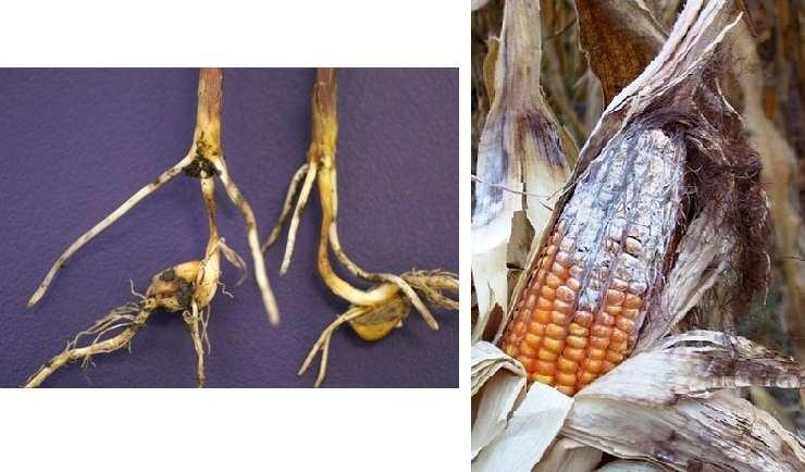 Стаття - Що таке фузаріоз кукурудзи. Ознаки і наслідки ...