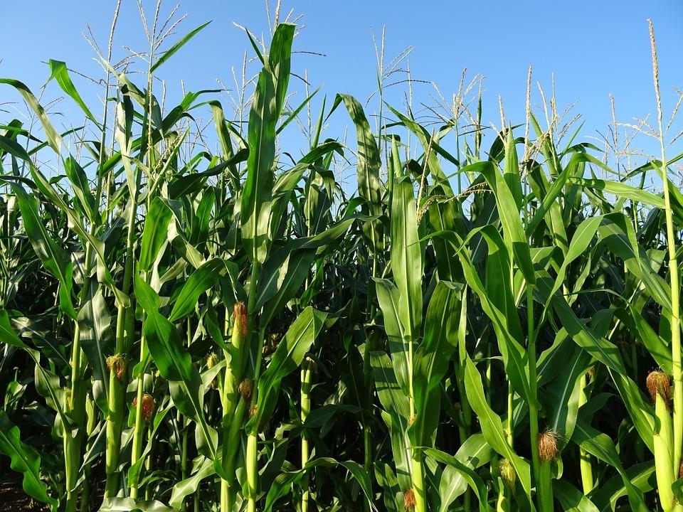 Гибрид кукурузы ДН Аджанка