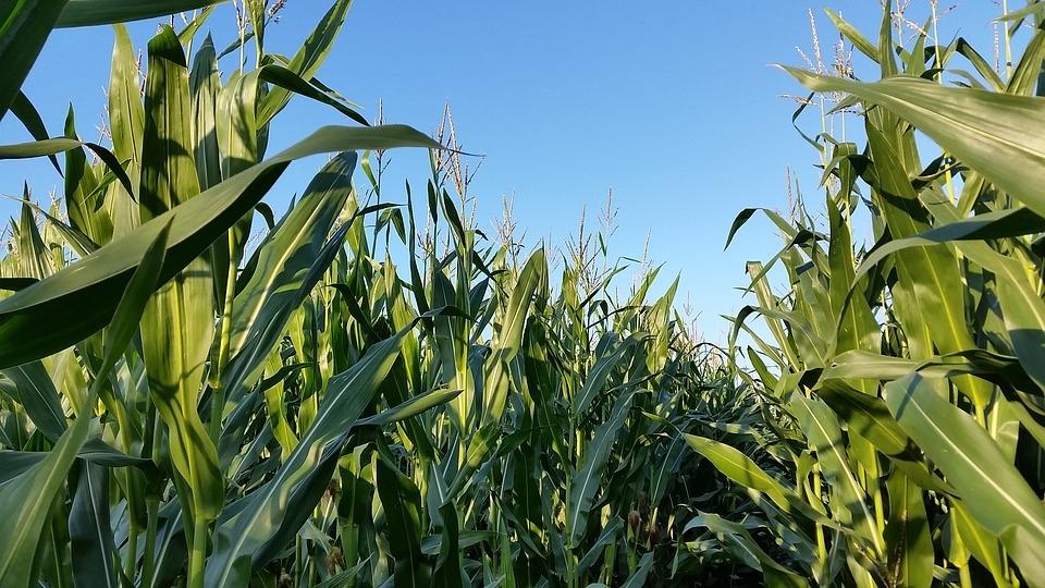кукурудза гібрид НК Пако купити насіння