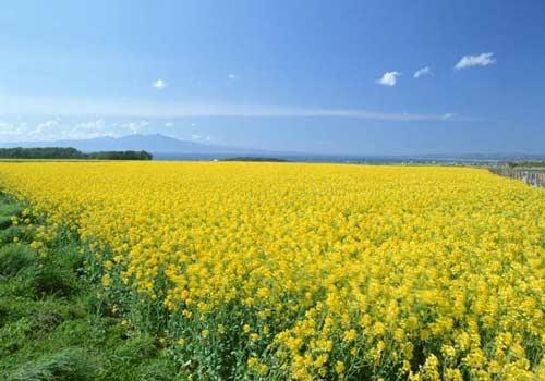 Насіння ріпаку ДК Імарет КЛ купити в Україні, опис гібрида, відгуки, ціна, доставка