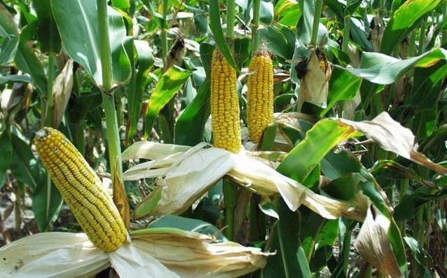 кукурудза гібрид ДКС 3202 насіння