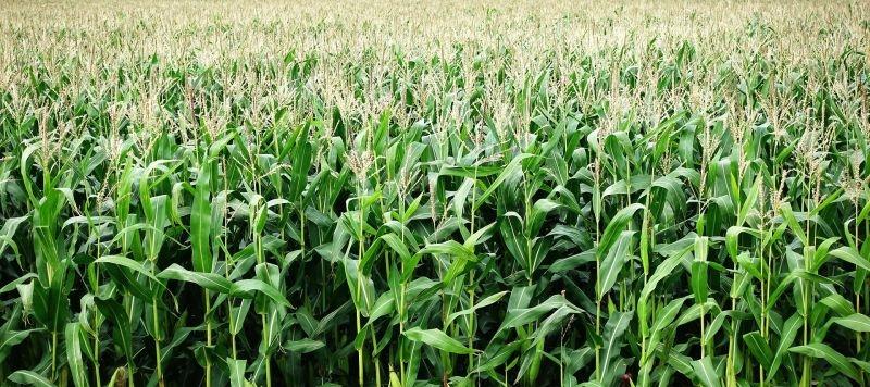 кукурудза гібрид ДКС 3361 насіння