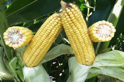 кукуруза гибрид ДКС 3415 семена