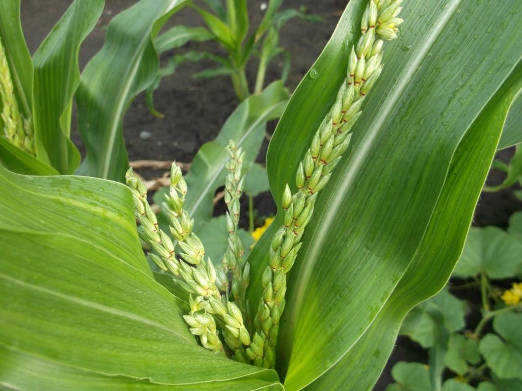 кукуруза гибрид ДКС 3441 семена