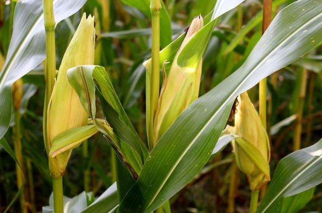 кукуруза гибрид ДКС 3623 семена