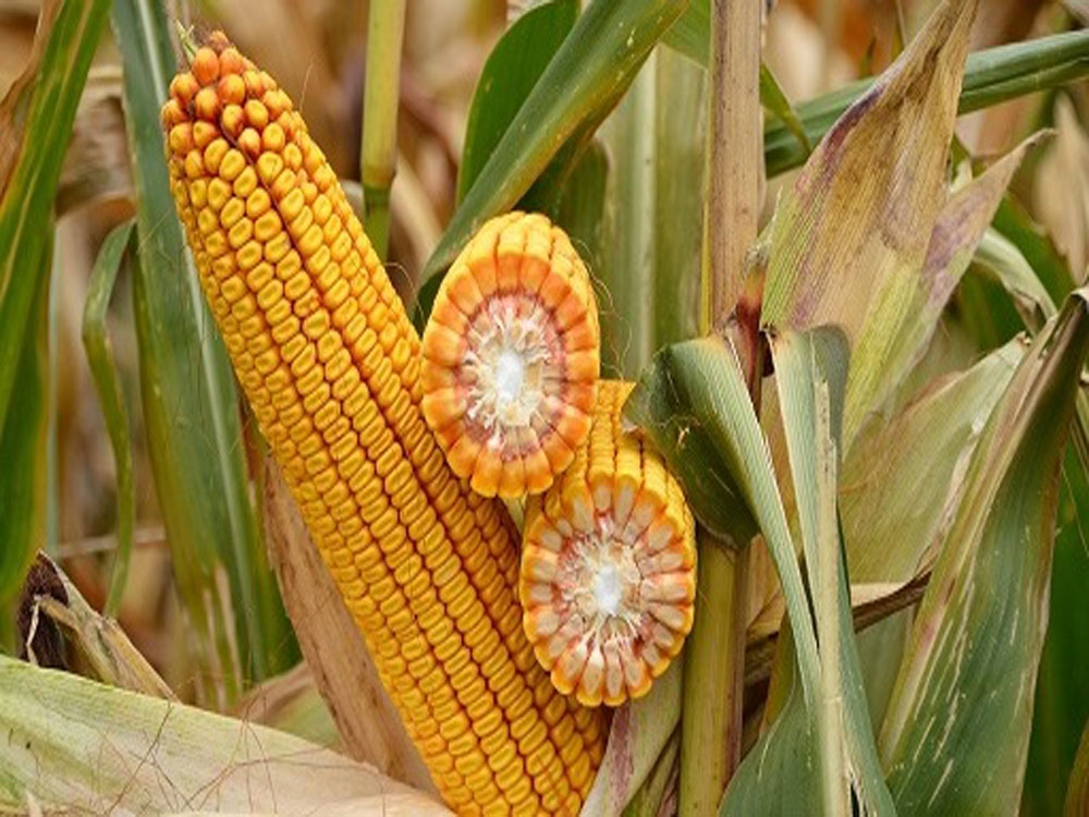 кукуруза гибрид ДКС 3969 семена