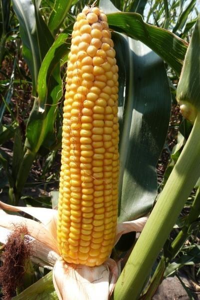кукурудза гібрид ДКС 3972 насіння