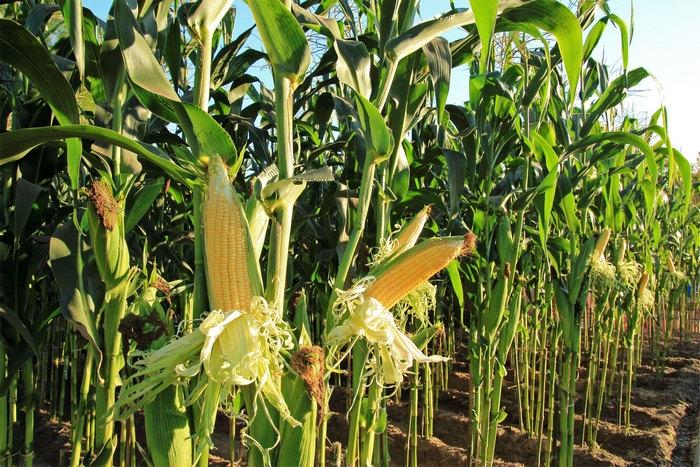 кукурудза гібрид ДКС 4178 насіння