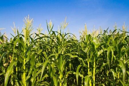 кукуруза гибрид ДКС 4541 семена