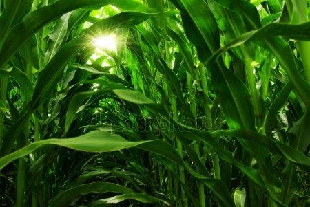 кукурудза гібрид ДКС 4964 насіння