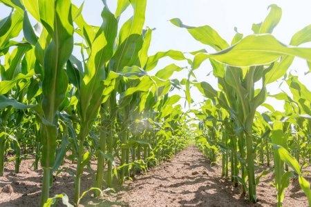 кукуруза гибрид ДКС 5007 семена
